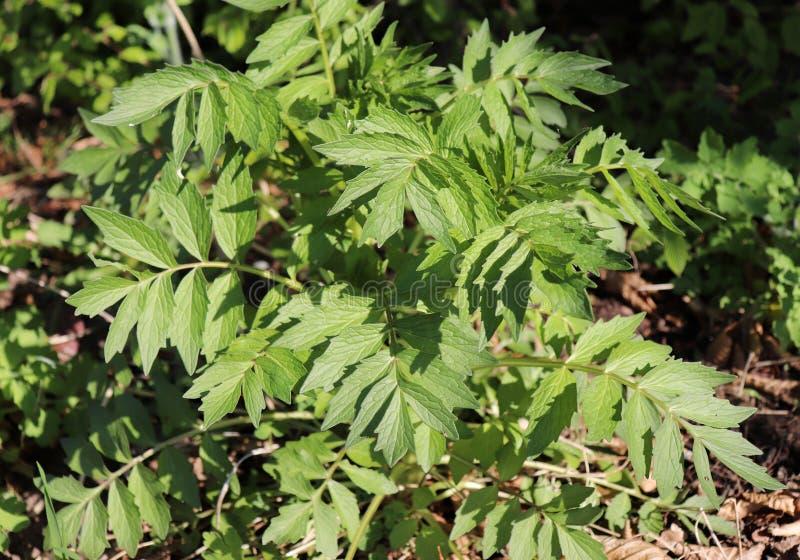 Cierre encima de la valeriana de la planta, officinalis del Valeriana, Caprifoliaceae Es una planta floreciente perenne Extracto  imagen de archivo libre de regalías