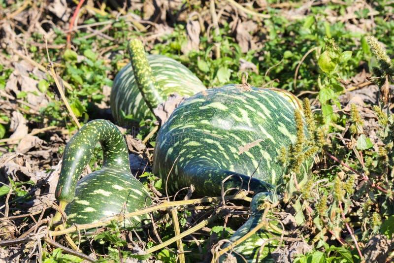 Cierre encima de las calabazas formadas divertidas verdes aisladas en campo seco con el follaje - Países Bajos imagen de archivo