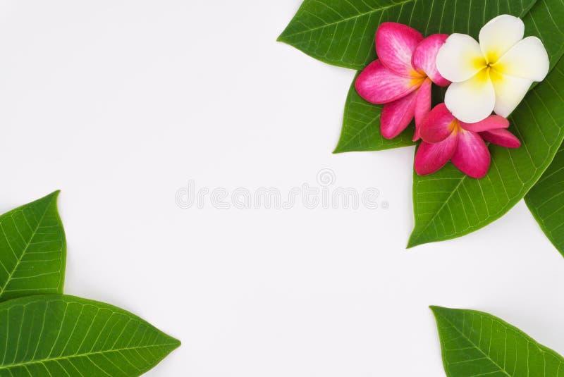Cierre encima de las flores del plumeria de la naturaleza usando como wallpeper fotos de archivo libres de regalías
