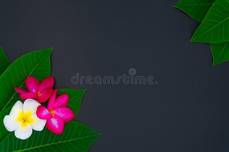 Cierre encima de las flores del plumeria de la naturaleza usando como wallpeper imagen de archivo libre de regalías