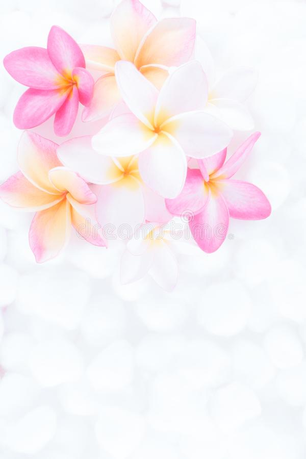 Cierre encima de las flores del plumeria de la naturaleza usando como wallpeper foto de archivo libre de regalías
