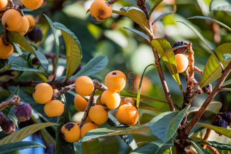 Cierre encima de las frutas brillantes del Loquat o japonica del Eriobotrya en árbol imagen de archivo libre de regalías