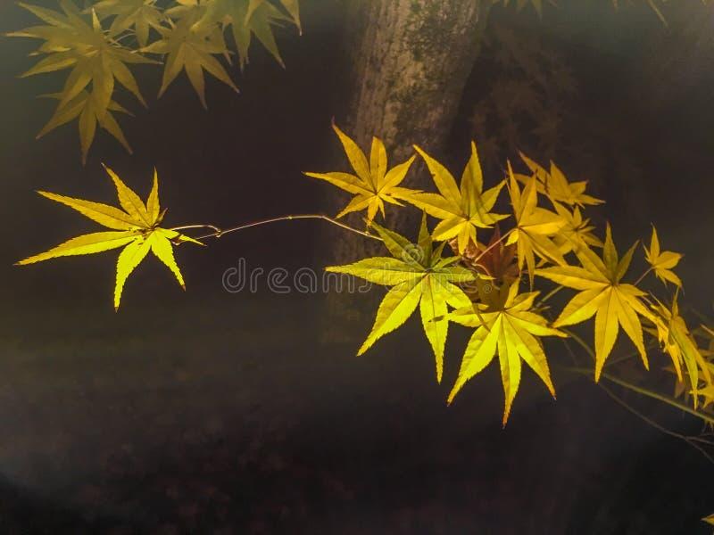 Cierre encima de las hojas de arce amarillas que están iluminadas en fondo oscuro foto de archivo