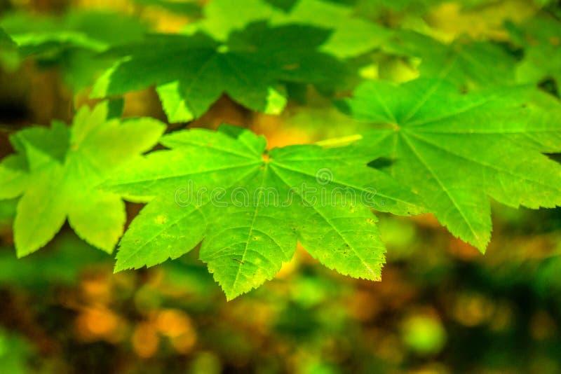 Cierre encima de las hojas de arce verdes con el fondo del color de la caída foto de archivo libre de regalías