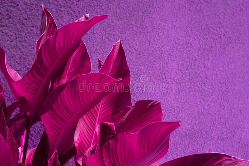 Cierre encima de las hojas tropicales rosadas sobre el muro de cemento púrpura del grunge imagen de archivo