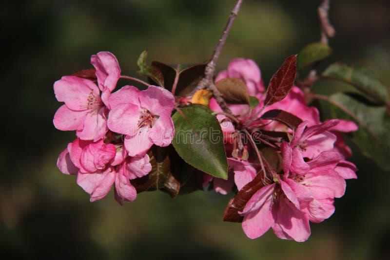 Cierre encima de las manzanas rosadas florecientes florecientes dulces Cherry Flowers fotografía de archivo libre de regalías