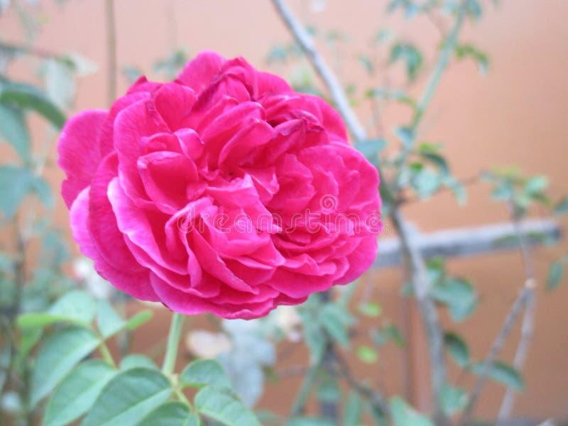 Cierre encima de Rosa Gallica fotografía de archivo libre de regalías
