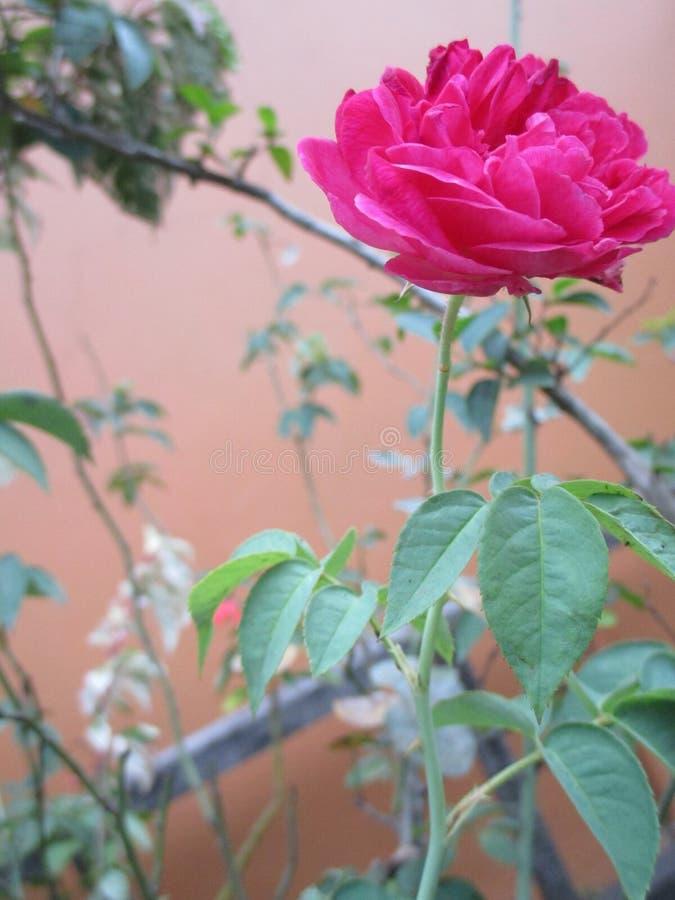 Cierre encima de Rosa Gallica foto de archivo libre de regalías