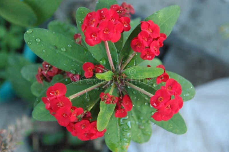 Cierre encima de rosas rojas, de las flores rojas y del ideal verde de la hoja para el fondo imagen de archivo