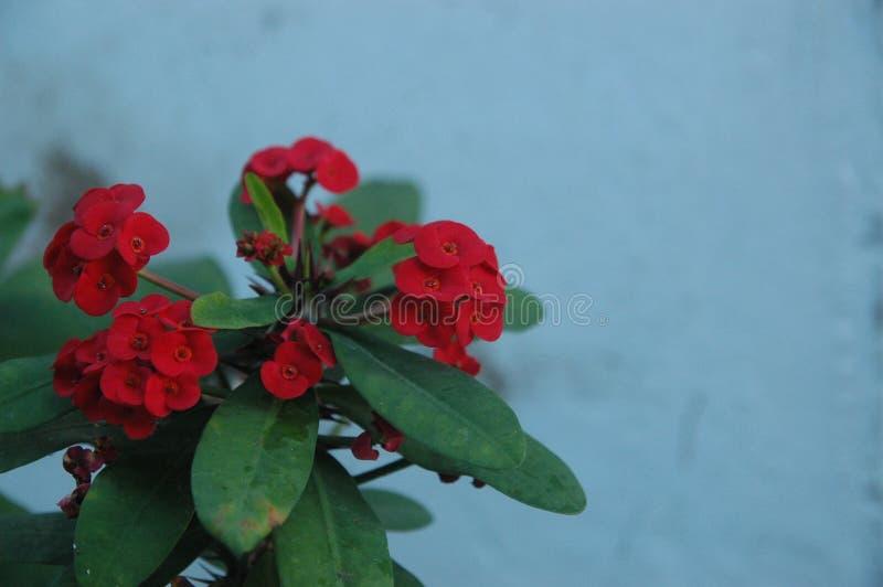 Cierre encima de rosas rojas, de las flores rojas y del ideal verde de la hoja para el fondo foto de archivo