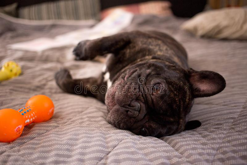 cierre encima del dogo francés berrendo que juega con sus juguetes en la cama imagen de archivo libre de regalías