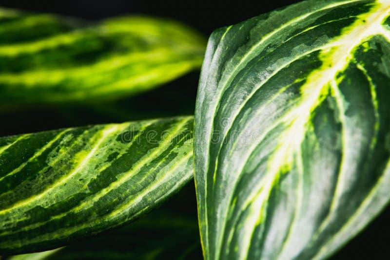 Cierre encima del extracto de las hojas del stripey de una planta interior imagen de archivo