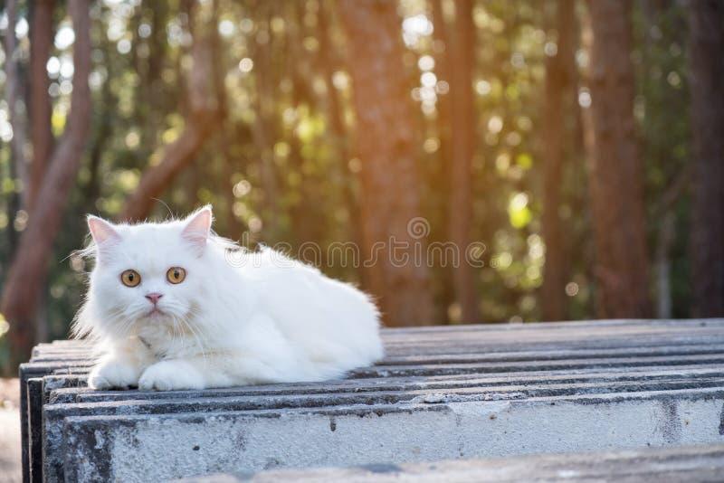 Cierre encima del gato persa blanco, al aire libre foto de archivo libre de regalías