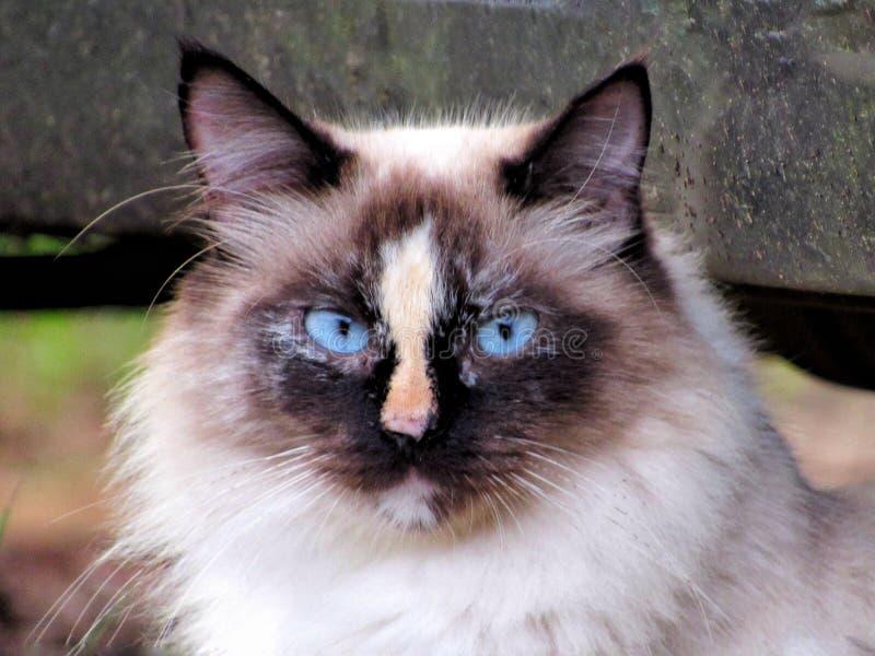 Cierre encima del gato siamés foto de archivo
