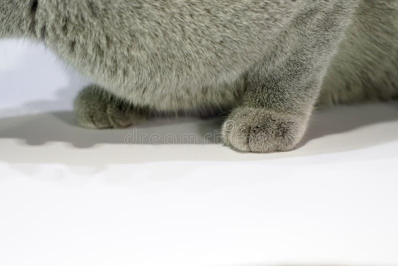 Cierre encima del gato tailand?s de la garra de Korat con la piel gris oscuro en la tabla blanca con la sombra en ella fotos de archivo