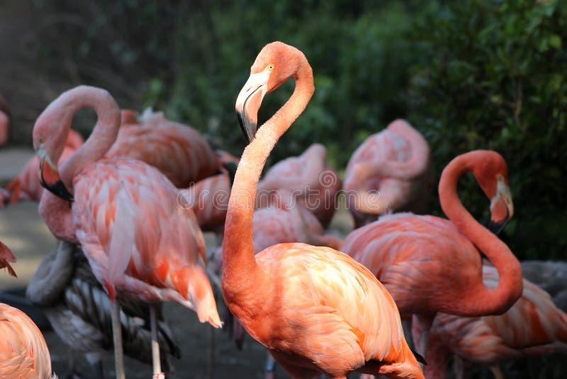 Cierre encima del grupo de los flamencos rosados hermosos contra fondo verde Tienen las piernas más largas del cuello y en propor imágenes de archivo libres de regalías