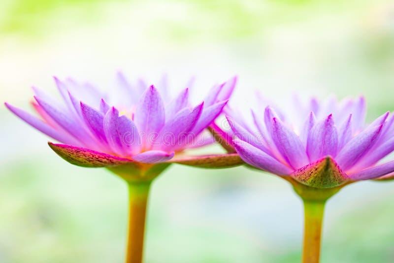 Cierre encima del loto púrpura hermoso, una flor del lirio de agua en la charca fotos de archivo