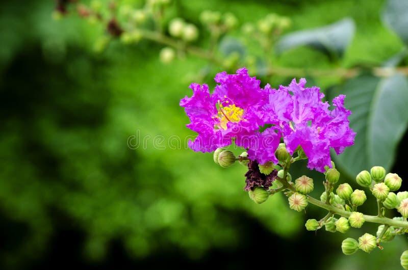Cierre encima del mirto púrpura del arbol de Jupiter o de crespón o floraciones del speciosa del Lagerstroemia en el jardín imagen de archivo libre de regalías