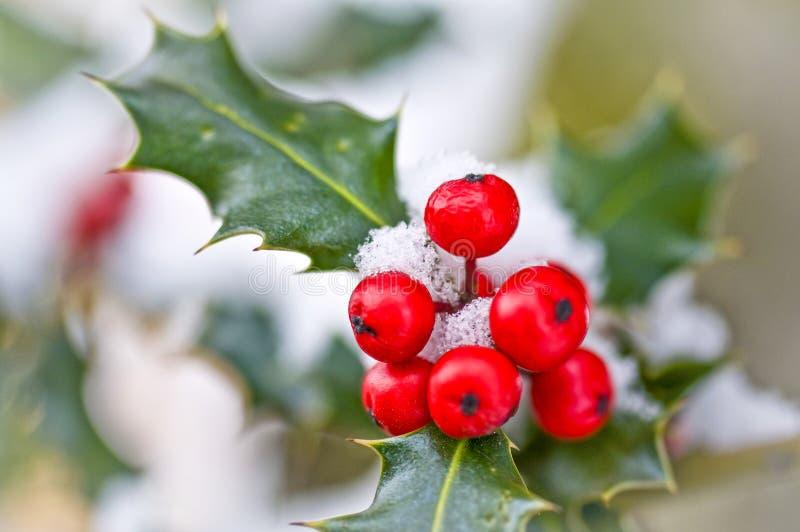Cierre encima del od una rama del acebo con las bayas rojas fotografía de archivo libre de regalías