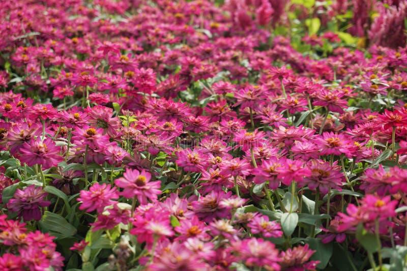 Cierre encima del pequeño fondo rosado del campo de flores imágenes de archivo libres de regalías