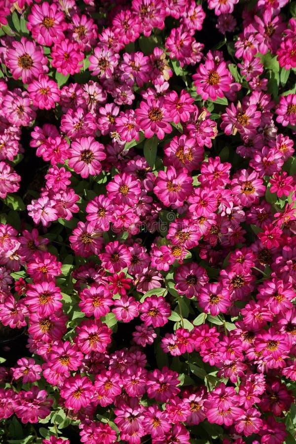 Cierre encima del pequeño fondo rosado del campo de flores fotografía de archivo libre de regalías