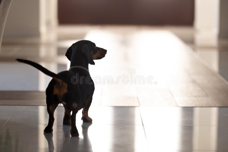 Cierre encima del perro pedigrí, situación del perro basset en pasillo de la casa moderna imágenes de archivo libres de regalías