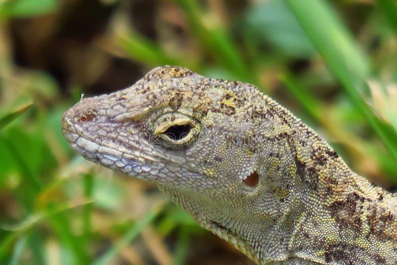 Cierre encima del reptil del sagrei del Anolis de Brown Anole Kauai, Hawaii, los E fotos de archivo libres de regalías