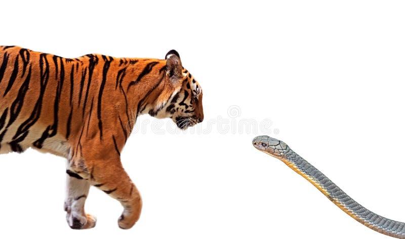 Cierre encima del tigre de Bengala y de rey Cobra Prepare para atacarse aislado en el fondo blanco con la trayectoria de recortes foto de archivo