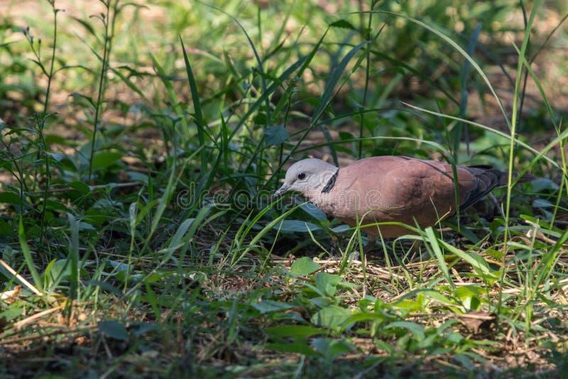 Cierre encima del tranquebarica agarrado rojo masculino del Streptopelia de la paloma que camina en hierba verde fotografía de archivo libre de regalías