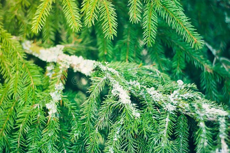 Cierre espinoso verde de la rama de árbol de abeto para arriba fotos de archivo libres de regalías