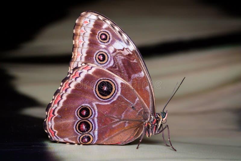 Cierre exótico de la mariposa encima de la macro imágenes de archivo libres de regalías