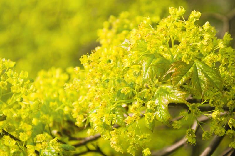 Cierre floreciente de la rama del arce para arriba imagenes de archivo