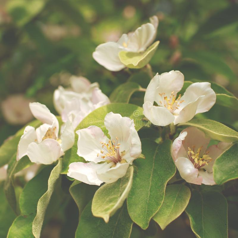 Cierre floreciente de la rama del membrillo de la manzana para arriba imágenes de archivo libres de regalías