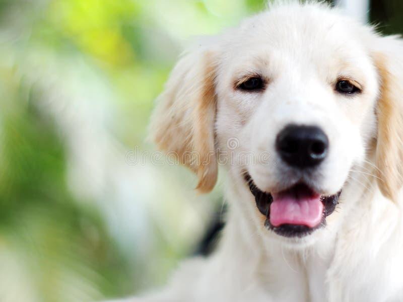 Cierre gordo lindo blanco divertido precioso del perro de perrito del tamaño compacto para arriba imagenes de archivo