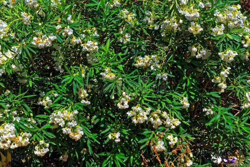 Cierre grande del arbusto de la flor blanca para arriba imágenes de archivo libres de regalías