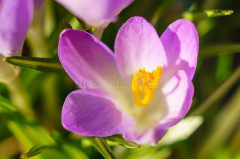 Cierre hermoso de la flor del azafrán para arriba Macro Foco suave, foco seleccionado imagen de archivo