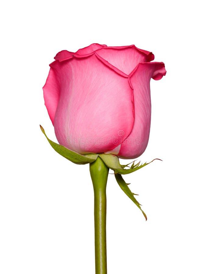 Cierre hermoso de la flor de la rosa del rosa para arriba Cabeza color de rosa blanda aislada Flores del jardín imágenes de archivo libres de regalías