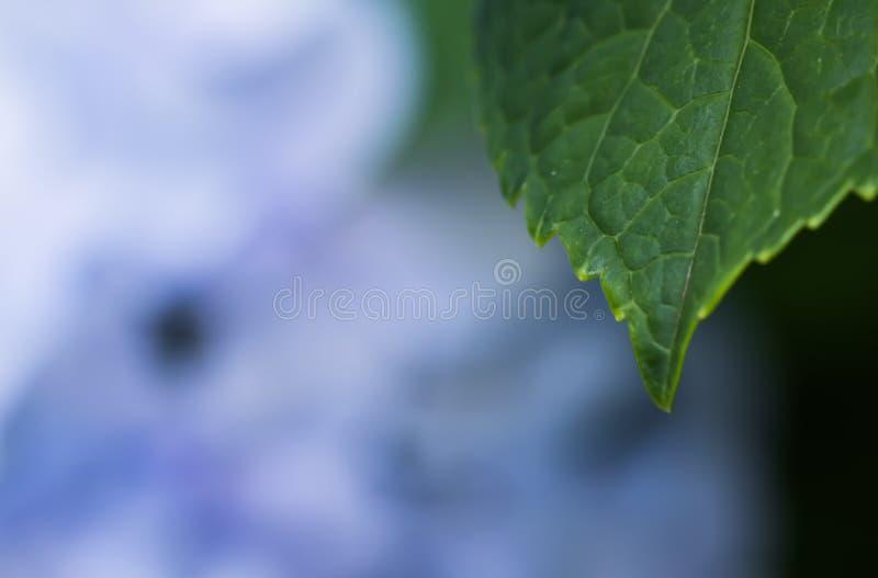 Cierre hermoso de la macro para arriba de la hoja verde con el manojo de pétalos violetas azules de la flor del hortensia en text imagen de archivo libre de regalías