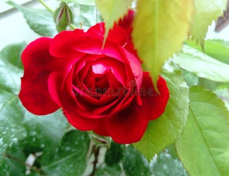 Cierre hermoso de la rosa del rojo para arriba fotografía de archivo libre de regalías