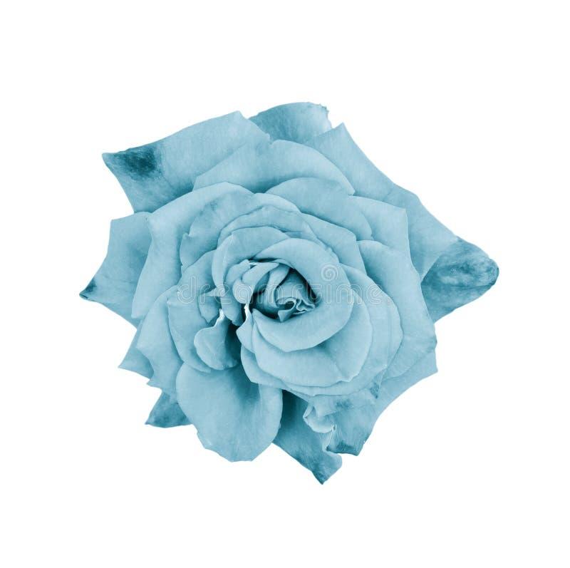 Cierre hermoso de la rosa para arriba Cabeza color de rosa blanda aislada Flores del jard?n Foco profundo Visi?n superior imagen de archivo libre de regalías