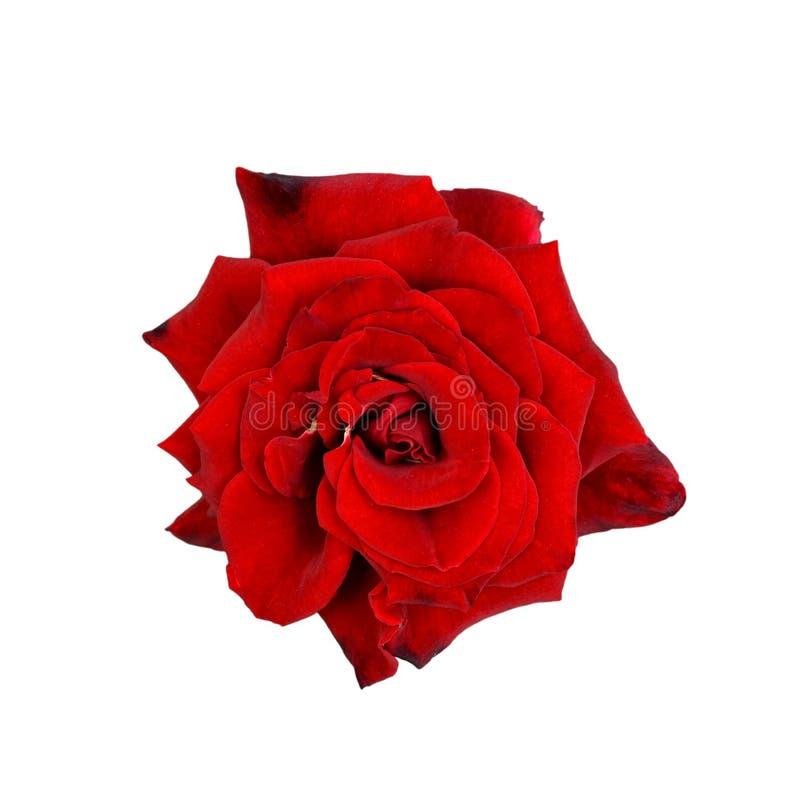 Cierre hermoso de la rosa para arriba Cabeza color de rosa blanda aislada Flores del jard?n Foco profundo Visi?n superior foto de archivo libre de regalías