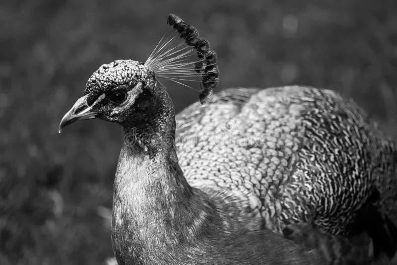 Cierre hermoso del pavo real para arriba en formato blanco y negro fotos de archivo libres de regalías