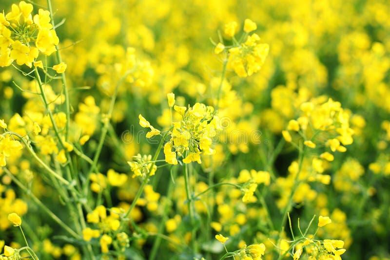 Cierre hermoso encima de la imagen de las flores de la colza en primavera Verano amarillo y verde de las flores de la rabina Cano foto de archivo libre de regalías
