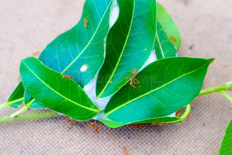 Cierre hermoso encima de la jerarquía roja de la hormiga en la hoja del árbol en jardín verde de la naturaleza imagenes de archivo