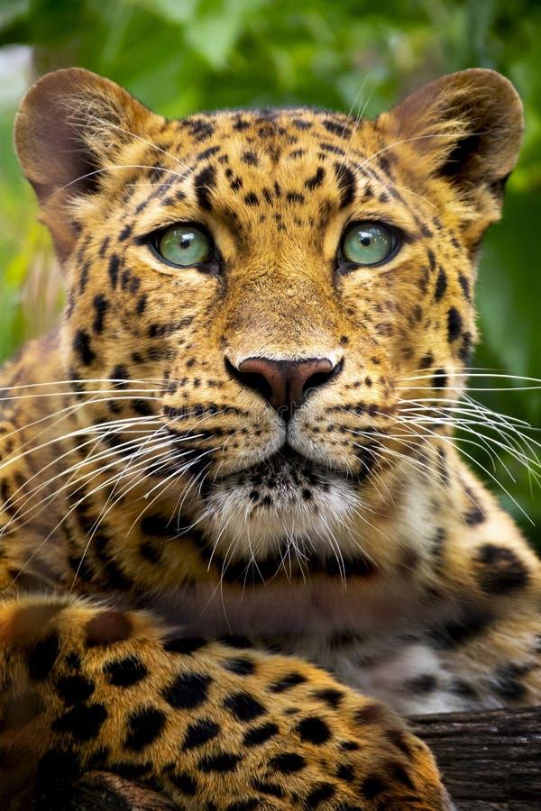 Cierre hermoso encima del retrato de un leopardo en peligro de Amur imágenes de archivo libres de regalías