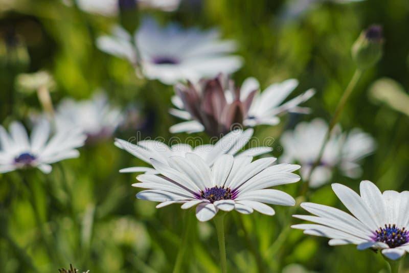 Cierre hermoso encima del tiro de Daisybush azul y blanco, margarita del cabo foto de archivo