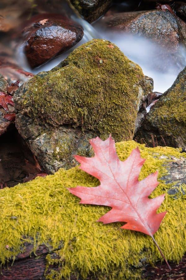 Cierre hermoso para arriba de la hoja del roble del arce por el río liso sedoso que fluye alrededor de rocas con el musgo del ver foto de archivo libre de regalías