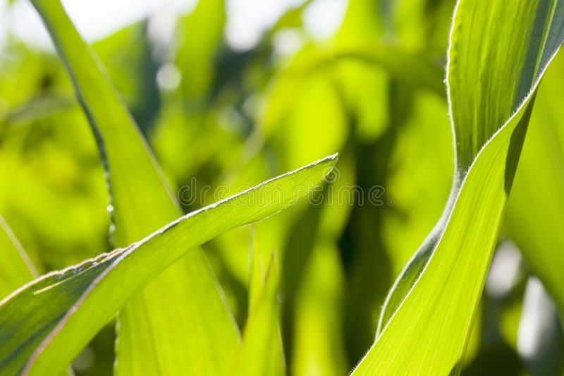 cierre hermoso verde del follaje del maíz encima de agrícola fotos de archivo