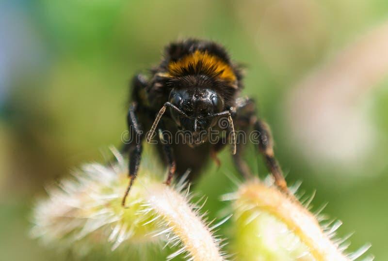 Cierre humilde de la abeja para arriba fotos de archivo libres de regalías