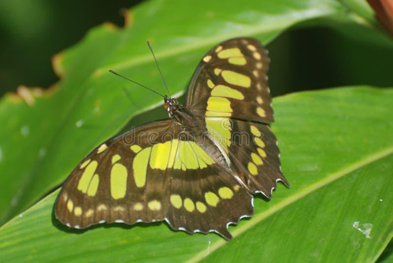 Cierre impresionante para arriba de esta mariposa de la malaquita fotografía de archivo libre de regalías